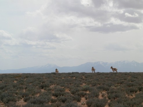 Pronghorn in front of the Henry Mountains, the last explored mountain range in the lower 48.